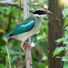fairy pitta of japan Merlin Bird, I Like Birds, Pitta, In The Tree, Colorful Birds, Bird Watching, Bird Feathers, Shanghai, Habitats