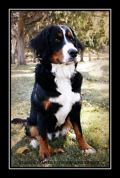 Our Bernese Mountain Dog, Koda ... All our dogs will be Berners from now on!