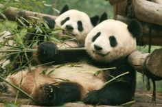Chengdu Full-Day Tour: Panda Breeding Center and Sanxingdui Museum 			Chengdu isn't known as the 'Land of Abundance' for nothing. On this full-day tour, find out why as you visit the Chengdu Panda Breeding and Research Center and the Sanxingdui Museum. The plump black-and-white creatures at the Panda Center will surely capture your heart while the cultural artifacts at Sanxingdui Museum will take you back in time to learn about ancient China's culture. 					On this full-day to...
