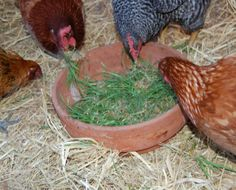 Growing wheat sprouts for chickens in winter
