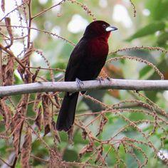 Foto pipira-vermelha (Ramphocelus carbo) por Ronaldo Rodrigues De Moraes | Wiki Aves - A Enciclopédia das Aves do Brasil
