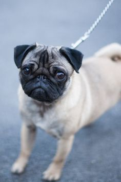 Been thinking of getting a dog at some point, and I've wanted a pug since I was a little kid. I've been wavering a bit lately and thinking of other possible breeds but seeing a cute face ceases that wavering for a bit haha