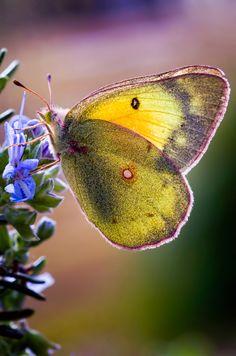~~Backyard Butterfly |  Sulphur Butterfly | by Dean Fikar~~