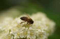 Honey Bee on Blossom - Pollination in Prince Edward by cubits on etsy.