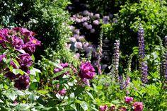 geranium orion vexiernelken und mutterkraut garden. Black Bedroom Furniture Sets. Home Design Ideas