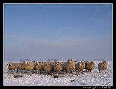 Afbeeldingsresultaat voor schapen in weiland