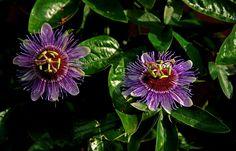 Meine Passionsblumen auf der Terrasse  ... blühen gerade wie verrückt. Zehn, zwölf Blüten auf einmal. Immerhin ist schon der 21. Oktober.  :-) http://de.wikipedia.org/wiki/Passionsblumen