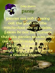 Fairy Plants - Pansy