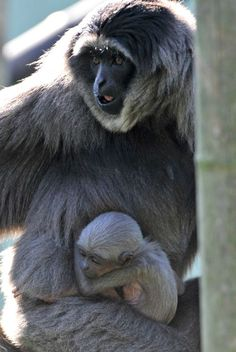 Javan Gibbon: found on the Indonesian island of Java and are  endangered primates.