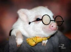 When I get a pig he will always be dresses up like Harry Potter Cute Baby Pigs, Cute Piglets, Cute Baby Animals, Funny Animals, Cute Babies, Animals Images, Farm Animals, Teacup Pigs, Funny Pigs