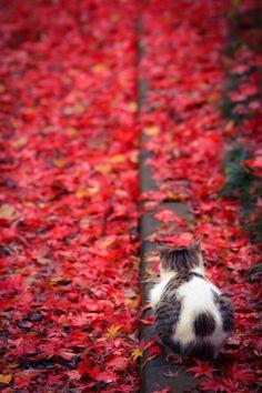 紅葉ニャンコ neko resting amongst the red leaves