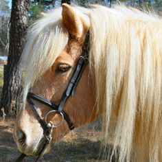 Dark Horse Tack is proud to offer... Icelandic Horse Bridle Made to fit Icelandic Horses. Black leather with flash Please allow 5-7 days for delivery. Dark Horse Tack is the premier supplier of equine