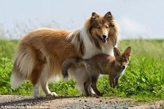 White Wolf : Fox And The Hound: Orphaned Fox Cub Finds Surrogate Mum In Dog (Photos)