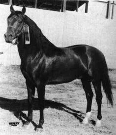 Morgan horse - Dapper Dan -  Total Progeny: 108 (wow)