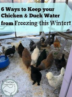 6 Ways to Keep your Chicken & Duck Water from Freezing - The Cape Coop Backyard Ducks, Backyard Poultry, Chickens Backyard, Best Egg Laying Chickens, Meat Chickens, Raising Chickens, Raising Ducks, Raising Goats, Duck Waterer