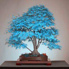 20 분재 블루 단풍 나무 씨앗 분재 나무 씨앗. 희귀 스카이 블루 일본어 메이플 씨앗 발코니 식물 홈 정원 꽃