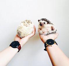 ordinary-hedgehogs-photography-hedgehographer-coverimage