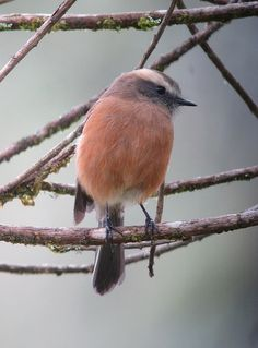 Brown-backed Chat-Tyrant by Félix Uribe