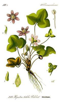 Anémone hépatique ou Hépatique noble - Hepatica nobilis