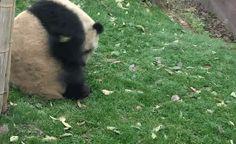 Cheezburger panda roll tumble