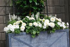 white container planting with dahlias