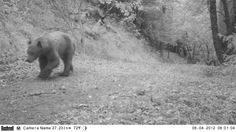 Remote Camera Photo of the Week: Black Bear in Napa County, CA    Every week, we post a photo from our remote camera research database from the Bay Area Puma Project and from photos shared with us.    To submit a photo for Photo of the Week, email info@felidaefund.org! If your photo is chosen, we will send you a Bay Area Puma Project water bottle.     Photo by Felidae Conservation Fund and the Land Trust of Napa County