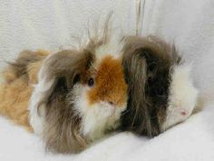 My name is CLEMENTINE.    I am a female, tricolour Guinea pig.    The shelter staff think I am about 2 years and 1 month old.