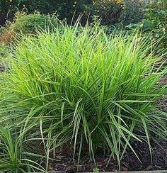 It's easy to grow, looks exotic, and will thrive in the shade. Palm sedge is a beautiful perennial with glossy green, grasslike leaves that grows 2-3 feet tall. An excellent shade-loving groundcover, palm sedge will flourish in damp soil, even clay.