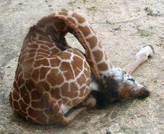 ふにゃふにゃ感がたまらない、キリンの赤ちゃんの写真40枚 - DNA