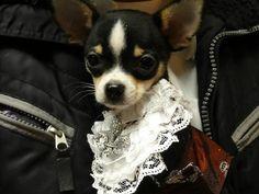 puppy bogie, angelic Couture Dog of New York, Couture dog, couture pup, celebrity, celebripup, muse, model, fashionista, modelo, stage star Bogie Rubio, Bogiegelic, adorable, baroque,