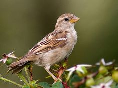 Image result for photo of sparrow bird