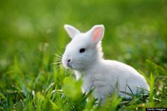 The bunny rabbit is the national animal of Ryccia.