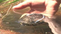 Pond Turtles Released Into the Wild