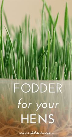 Fodder for Chickens - Vinegar is also good for chickens.It keeps pests off them .It makes their coat shinny. Raising Backyard Chickens, Keeping Chickens, Backyard Farming, Backyard Poultry, Chicken Feed, Chicken Runs, Chicken Coops, Chicken Treats, Chicken Houses