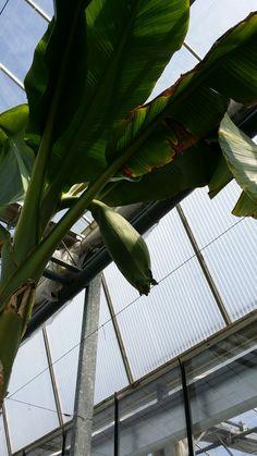 Bananen boom in de bloei