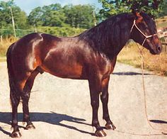 Catria horse. Once an indigenous feral breed from the Central Appennines in Italy, the Catria has been developed into a hardy breed suited to mountain agriculture and as a saddle horse.