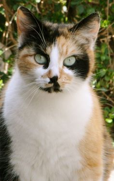 Pretty Cats, Beautiful Cats, Animals Beautiful, Cute Animals, Pretty Kitty, Cute Kittens, Cats And Kittens, Bobtail Japonais, Chat Bizarre