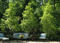 Choosing Small Trees for a Big Impact | February 2011 eNewsletter (Savannah Holly privacy screen)