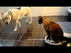 """Move B*tch Get Out The Way!"" Desperate House CAT on Roomba Driver Bitch... HILLARIOUS!"