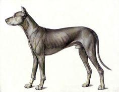 Anatomía del perro. Juan Azpeitia. 2