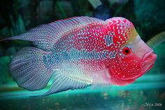 In Malaysian culture the Luohan, or Flowerhorn fish, is associated with good fortune!