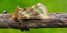 Beneficial Insects, Saving Ideas, Moth, Garden Design, Wildlife, Gardens, School, Animals, Animales