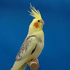 Galerie. Herzlich Willkommen! Fast alle Vögel die in der Galerie gezeigt werden, sind auch bei mir zu besichtigen. Caique Parrot, Parrot Bird, Funny Birds, Cockatiel, Pet Birds, Cute Animals, Parrots, Nymphs, Diy Dog