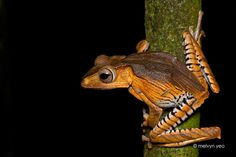 The Borneo eared frog, file-eared tree frog or bony-headed flying frog (Polypedates otilophus) Geckos, Reptiles And Amphibians, Mammals, Amazing Frog, Funny Frogs, Paludarium, Vivarium, Frog And Toad, Frog Frog