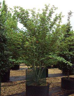 Acer davidii - Snakebark maple