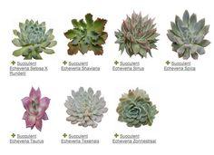 Succulent Echeveria variety guide metro detroit florist sweet pea floral design