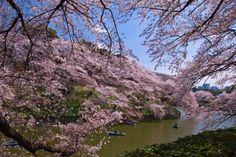 'Hanami' es como se denomina en Japón al tradicional picnic primaveral que se realiza bajo los cerez... - Aflo