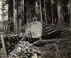 Lumberjacking, Redwoods