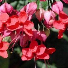 Tanaman Red Bleeding Heart Vine
