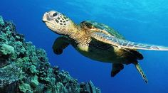 The green sea turtle is in great danger in Malaysian waters. Construction projects in the area (plans to build a steel mill & liquefied natural gas plant) would jeopardise their existence. You can help protect the fragile, unique ecosystems in this area, along with the beautiful green sea turtles, by signing a petition to the Malaysian government: https://www.rainforest-rescue.org/mailalert/919/malaysia-protect-the-rainforest-reserve-and-turtles?mt=1631=1=nl